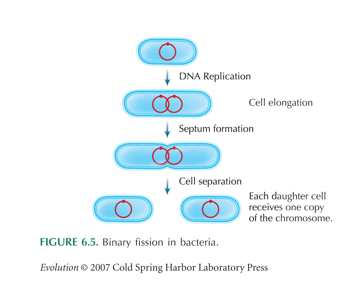 what is binary fission Binary fission is the splitting of one cell into two, and while conjunction is the same, it also involved fragmentation is the process of breaking off a piece of organism followed by mitosis cell division.