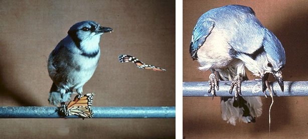 This blue jay has probably now associated the monarch's color and bad taste